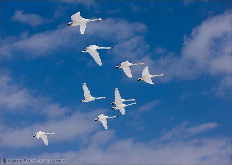 Nine Swans