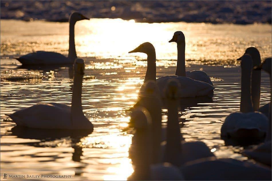 Swan Society