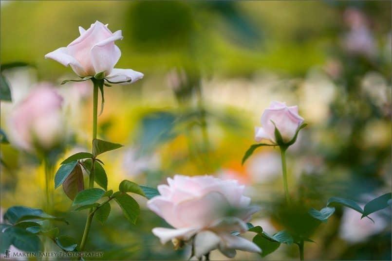 Pink Rose Wonderland