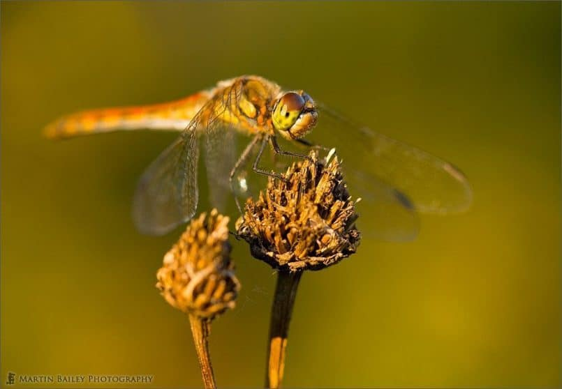 Autumnal Dragonfly