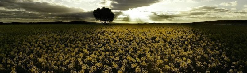 Golden crop © Paul Grinzi from Australia