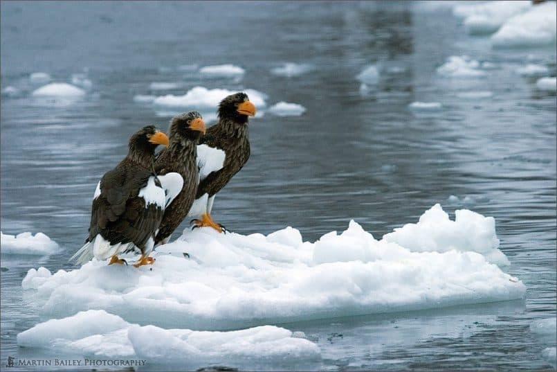 Sea Eagles' Conversation #1