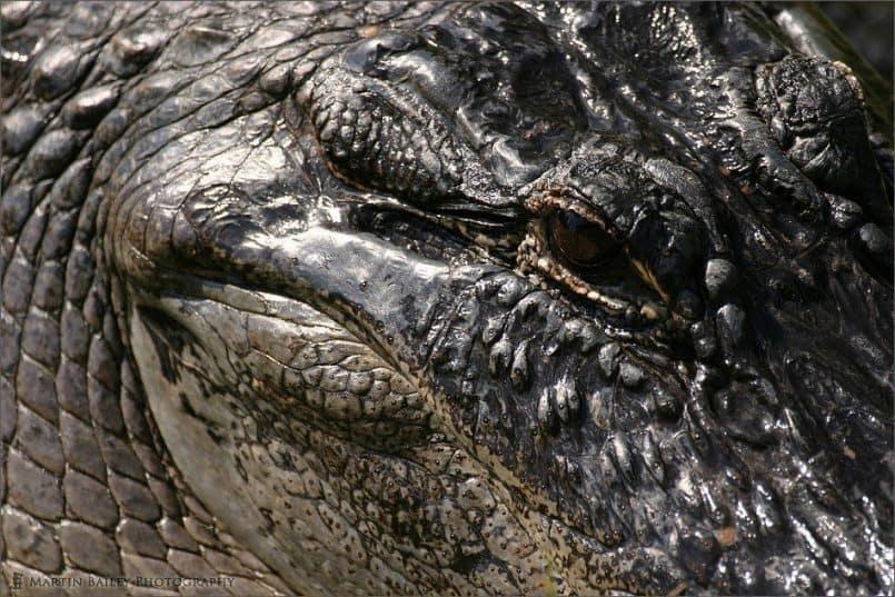 Alligators Eye #2
