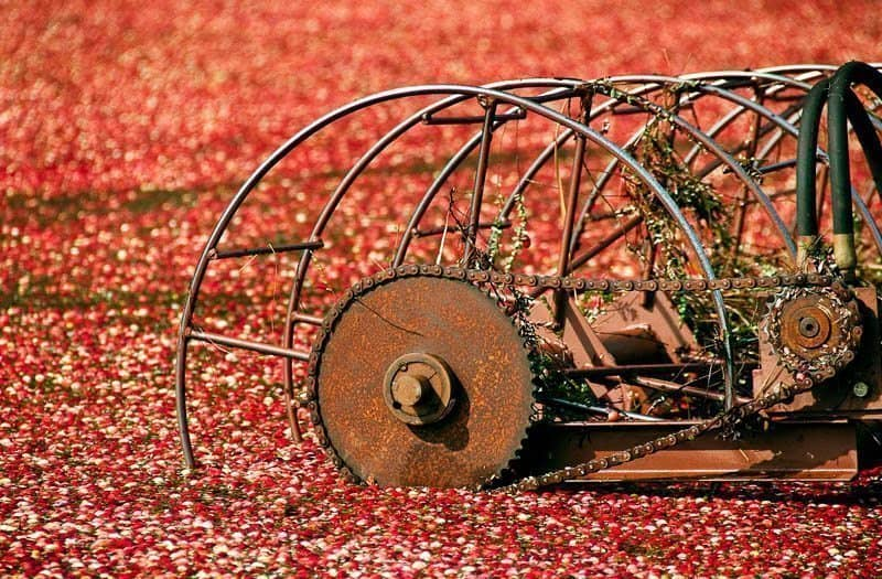 Cranberry Harvest © Super Digital Girl, Leslie Granda-Hill