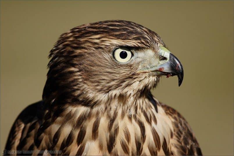 Bloody Beak