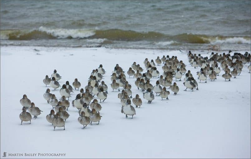 Pintail's March