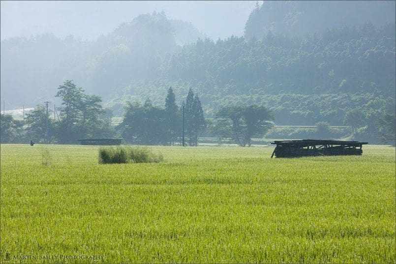 Early Morning Joboji Rice Fields