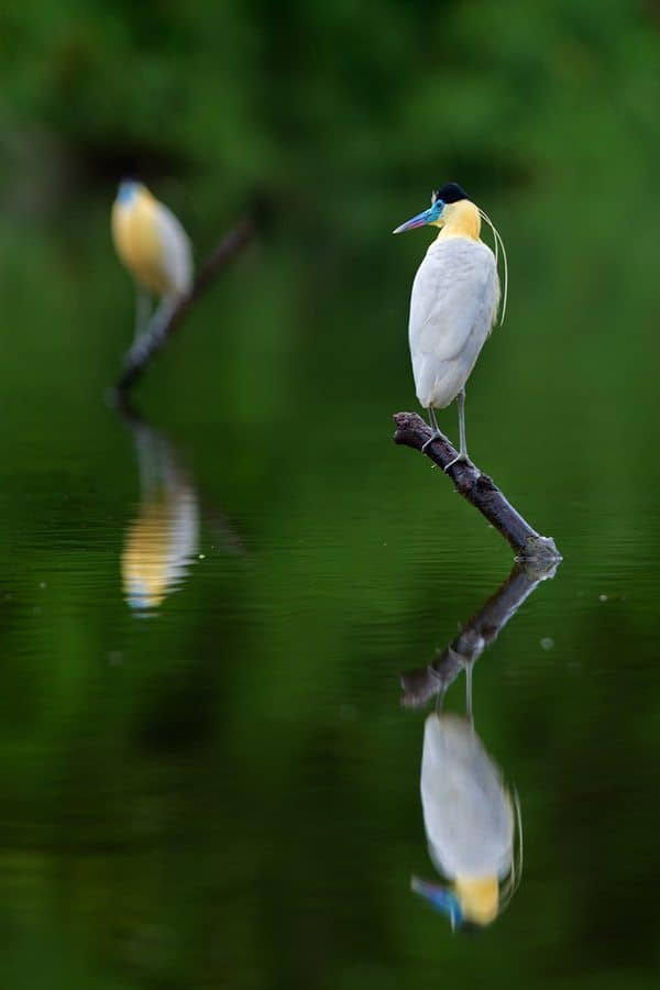 Capped Heron Reflections
