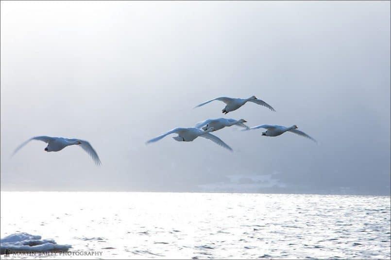 Kussharo Lake Whooper Swans
