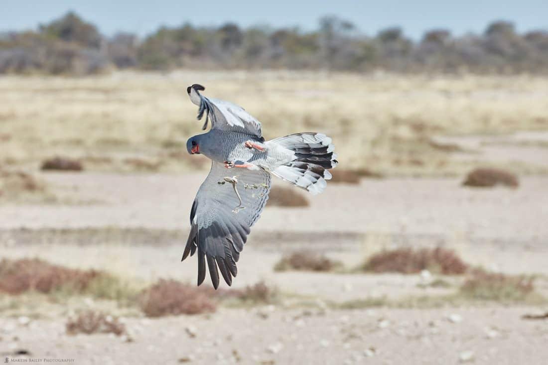 Southern Pale Chanting Goshawk Catching Skink