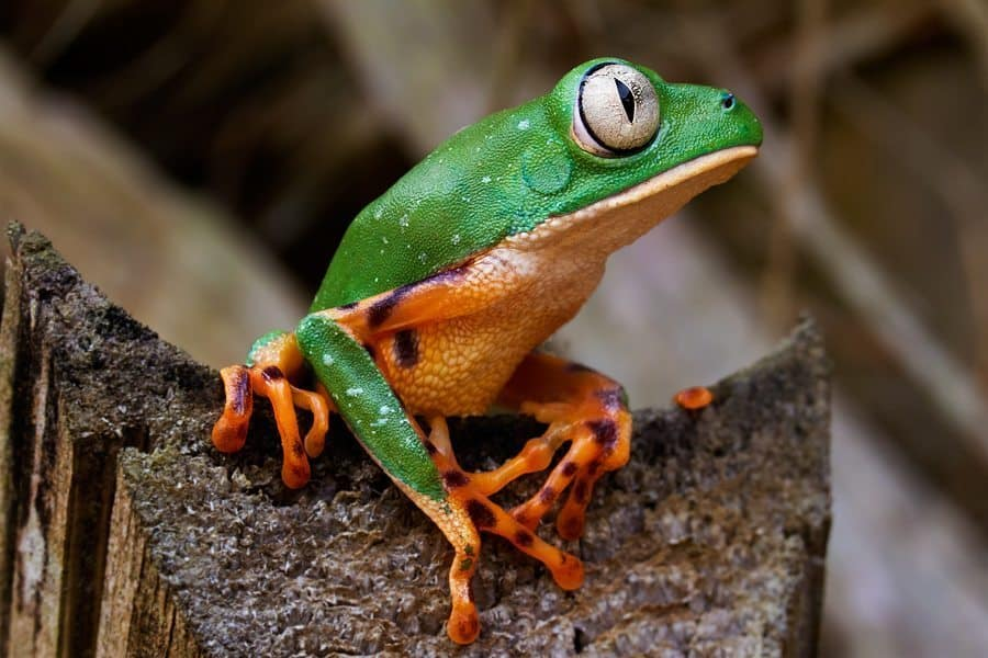 Tiger Stripe Monkey Frog