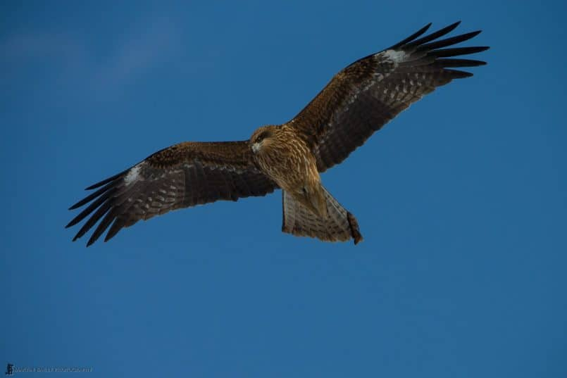 Black Kite Soaring