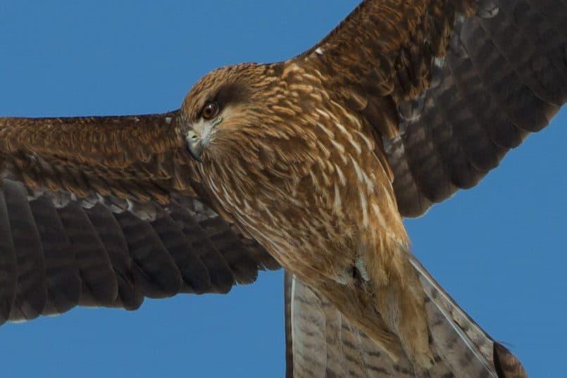 Black Kite Soaring  @ 560mm 100% Crop