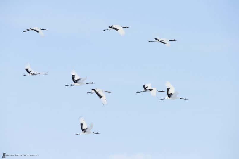 Nine Red-Crowned Cranes in Flight