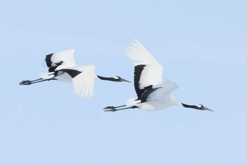 Nine Red-Crowned Cranes in Flight 100% Crop