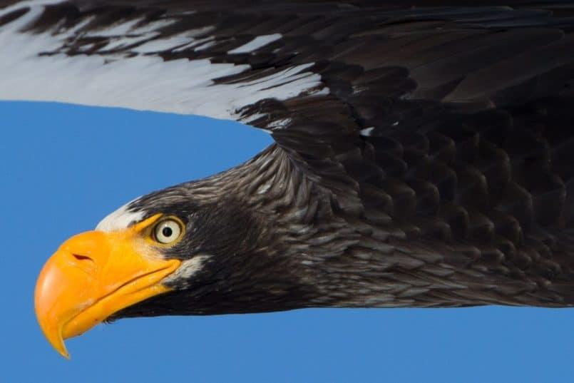 Steller's Sea Eagle @ 100%