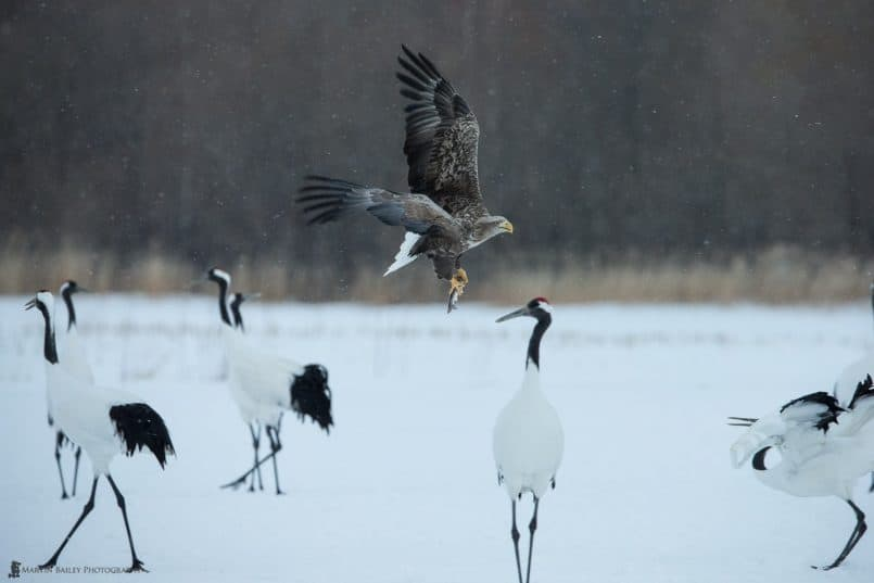 White-Tailed Eagle with Catch