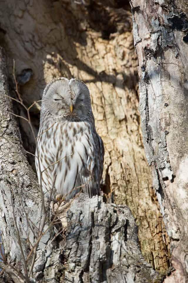 Ural Owl @ 800mm