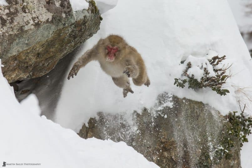 Leaping Snow Monkey