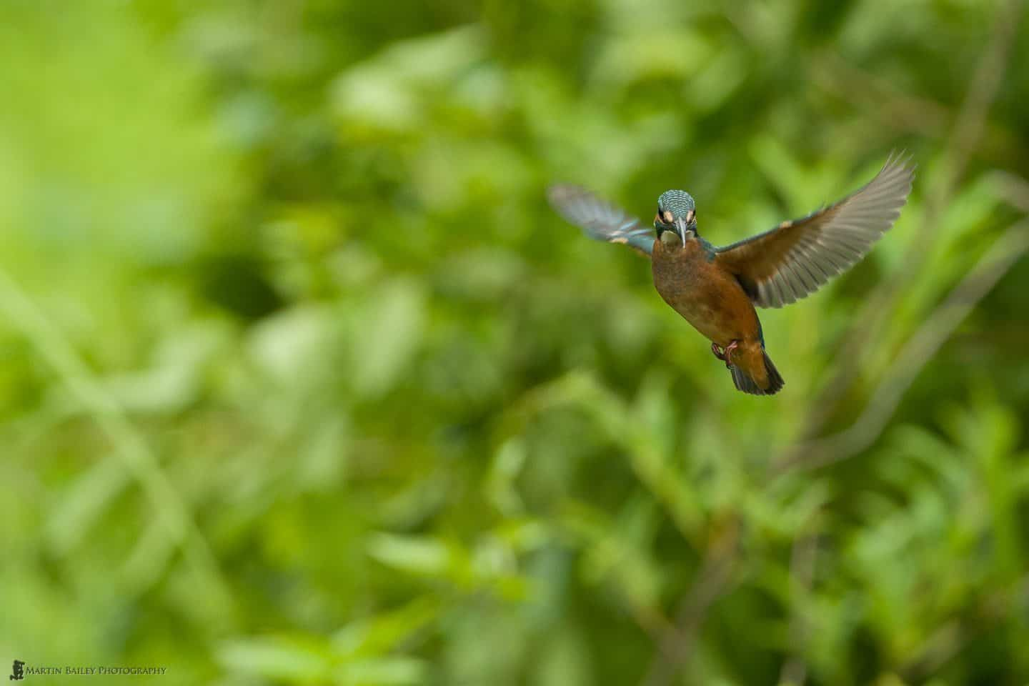 Hovering Kingfisher