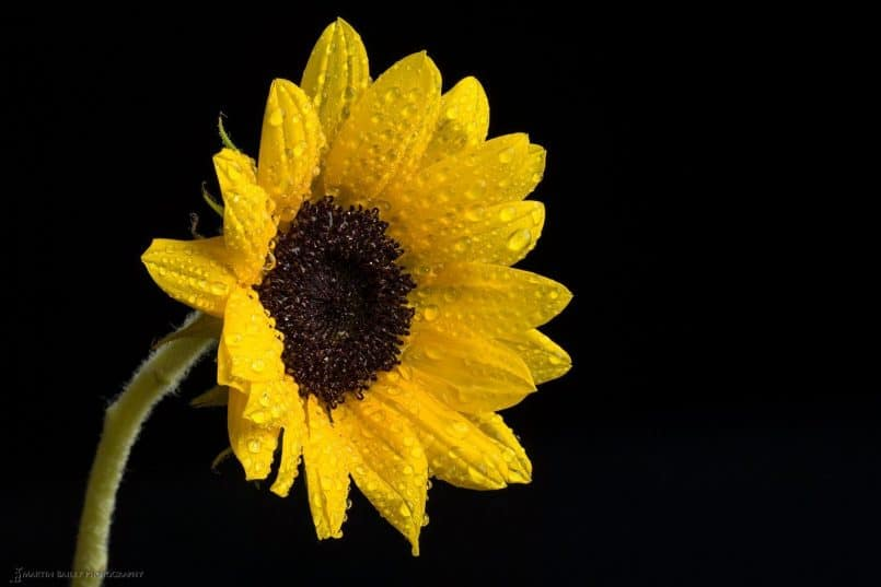 Sunflower Focus Stack