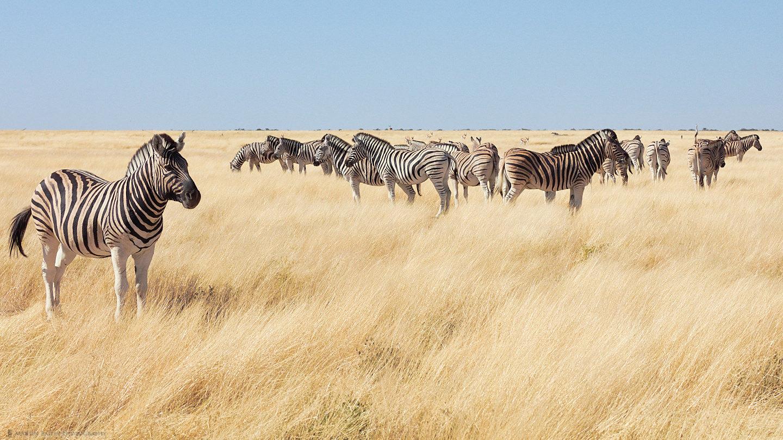 Odd Zebra Out