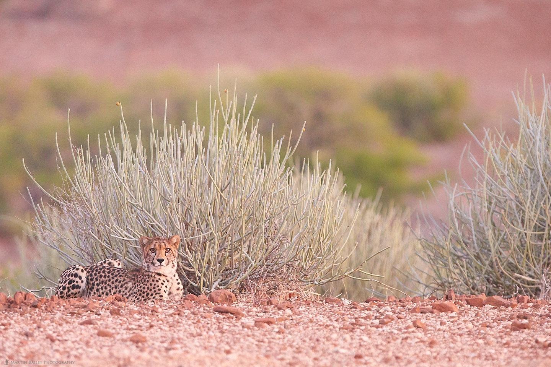 Relaxed Cheetah