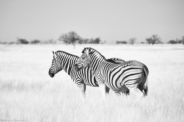 Zebra Stand