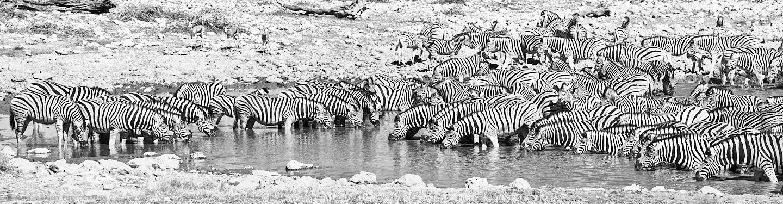 Zebra Filled Waterhole