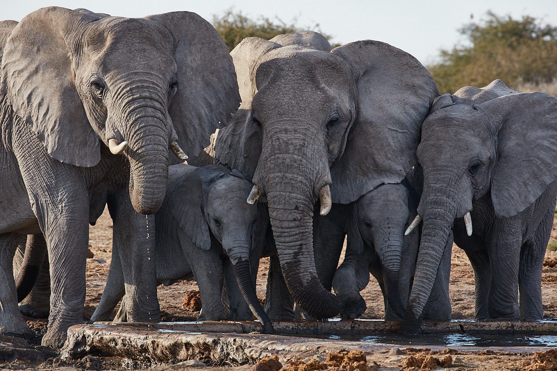 Elephants Drinking at Waterhole