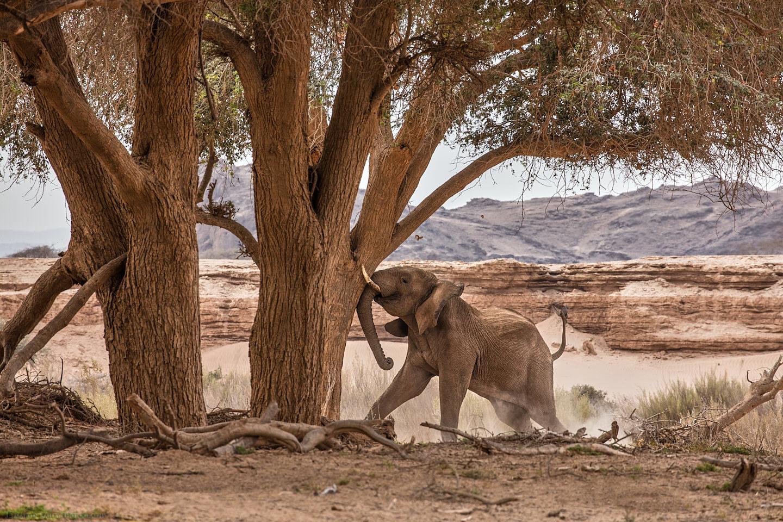 Desert Elephant Shaking an Ana Tree