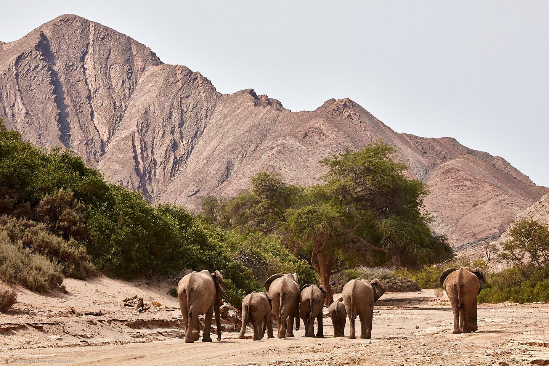 Herd of Desert Elephants