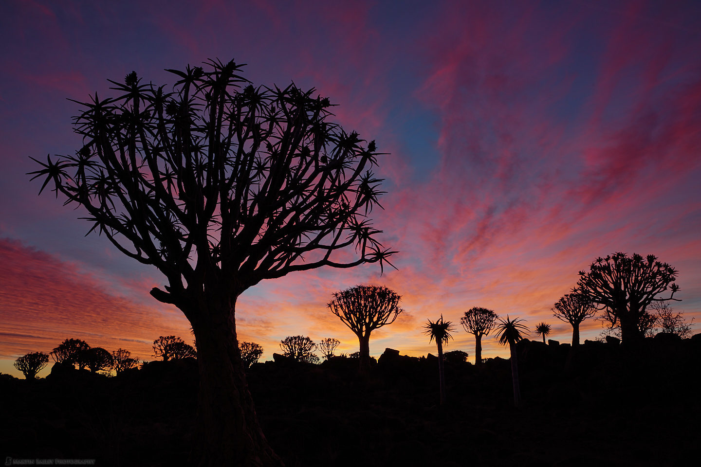 Quiver Tree Fiery Sunset