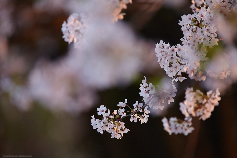 Blossom at Dusk