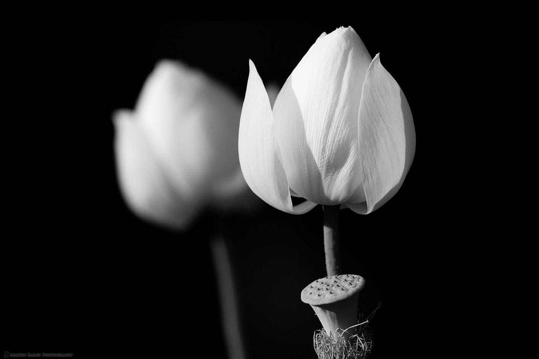Two Flowering Lotus