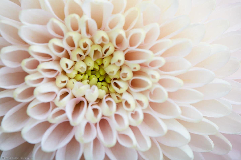 Young Chrysanthemum