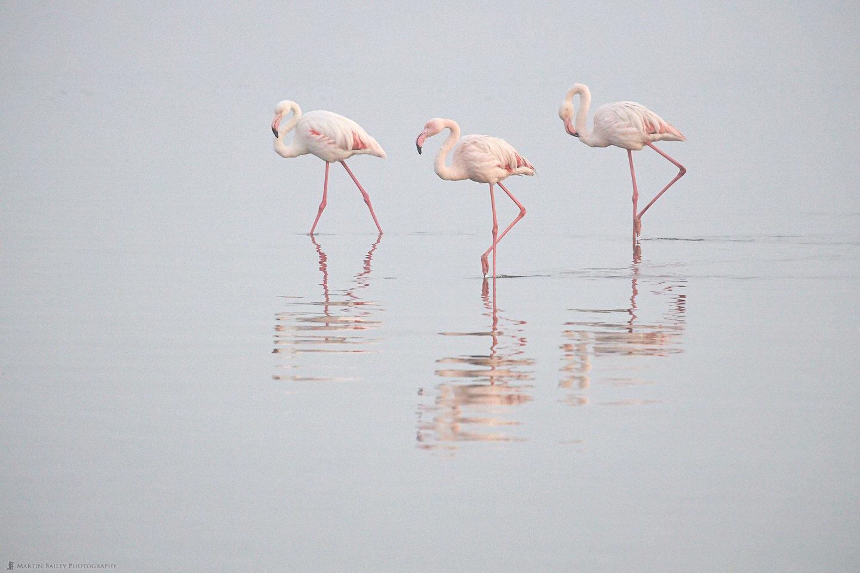 Flamingoes in Dawn Mist