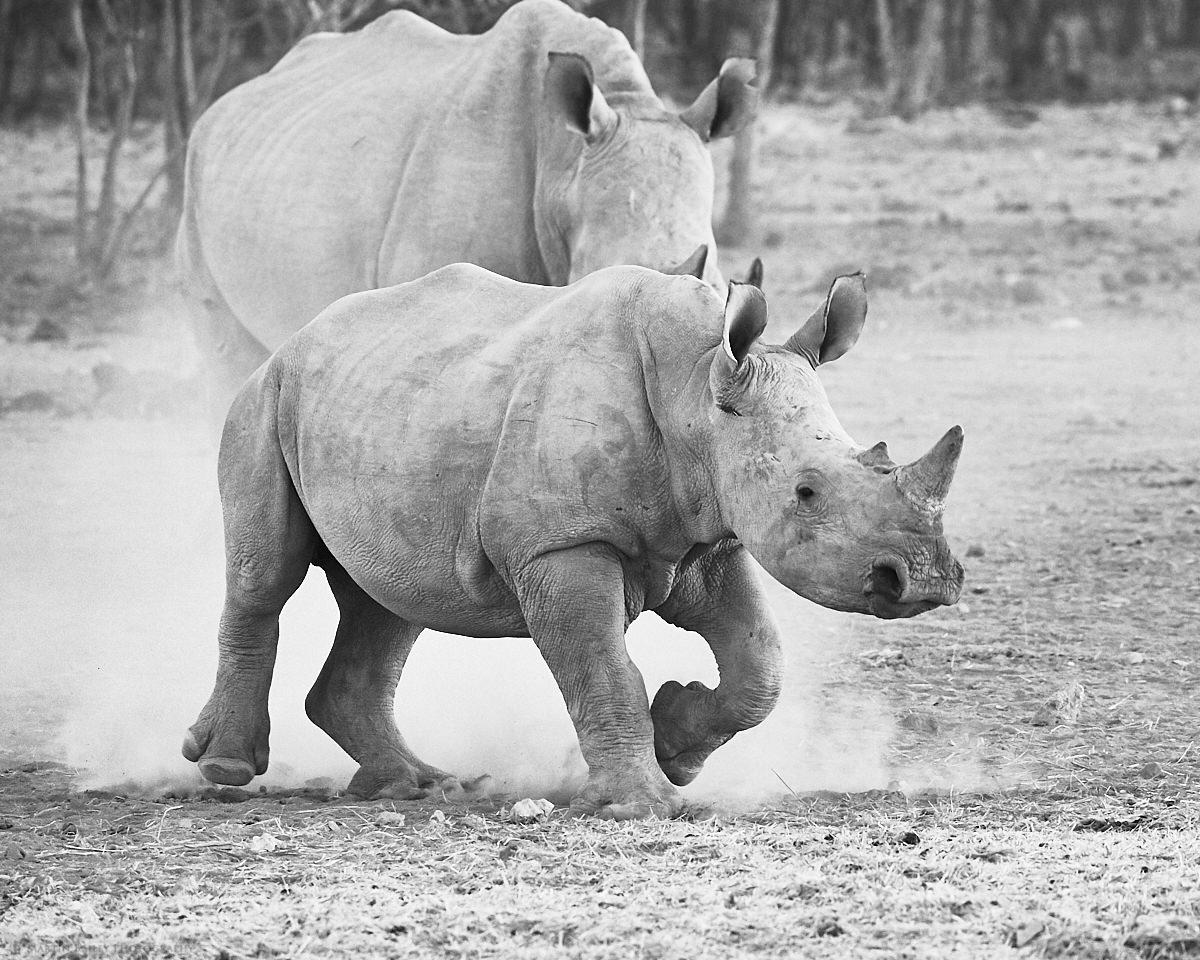 Feisty Rhino