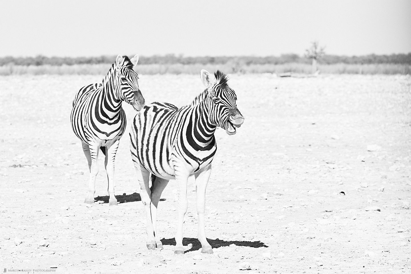 The Laughing Zebra