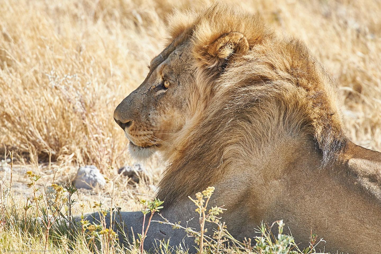Lion Awakes