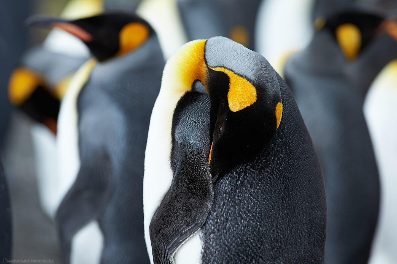King Penguin Preening