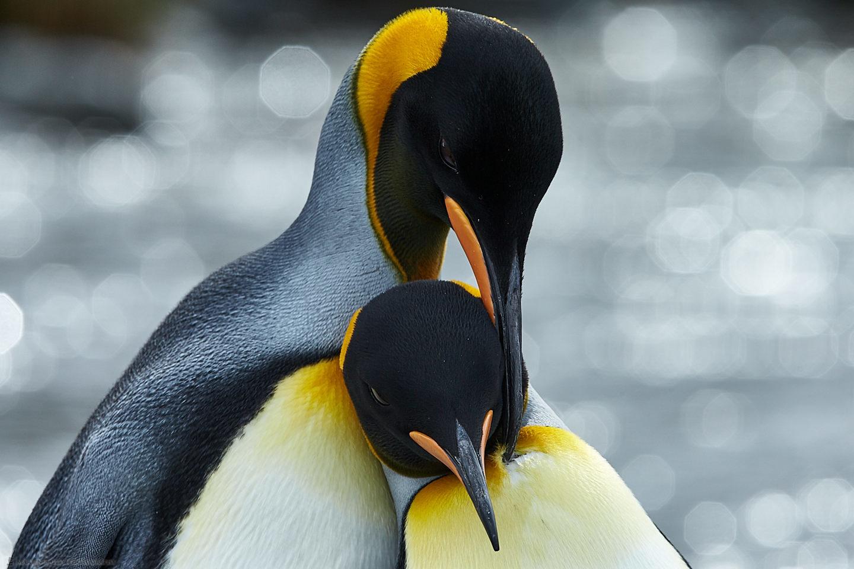 King Penguin Tender Moment