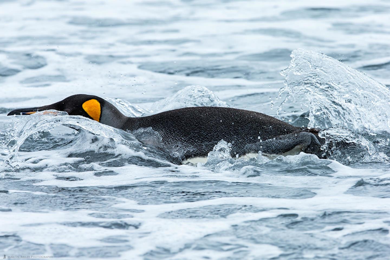 King Penguin Takes a Dive