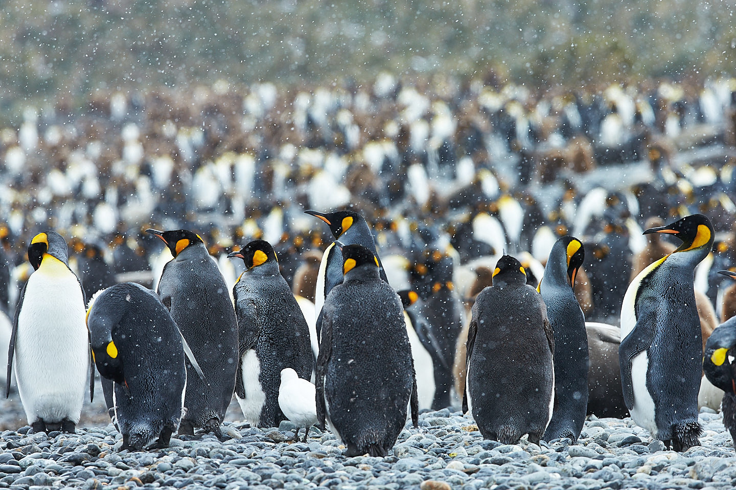 King Penguins in Snow