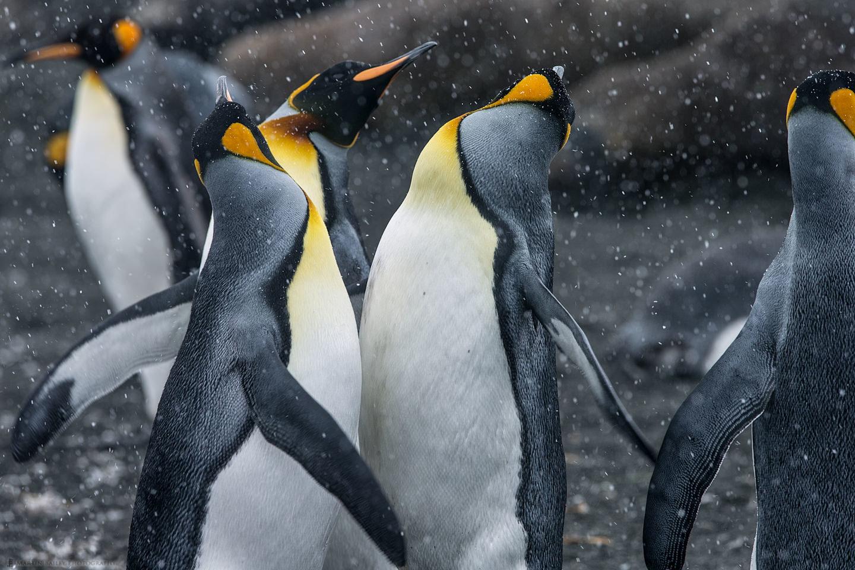 King Penguin Rave