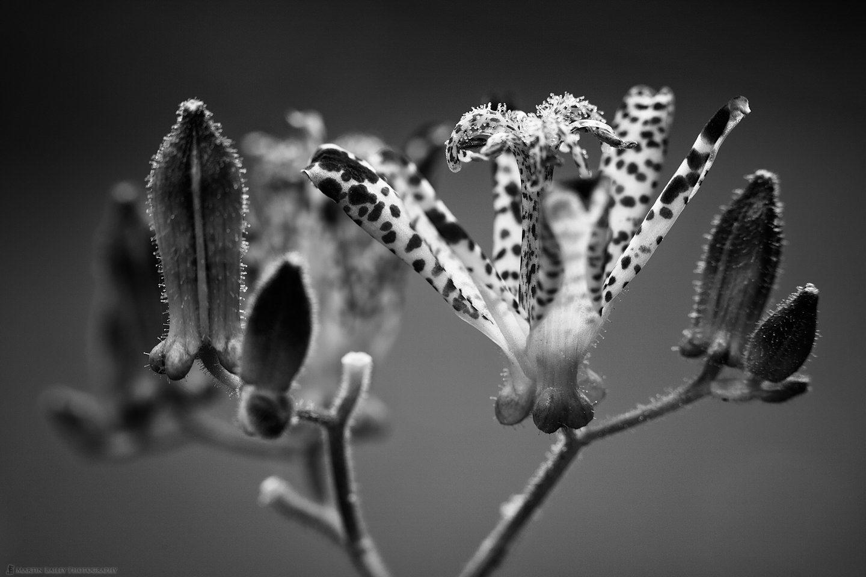 Iris Japonicia