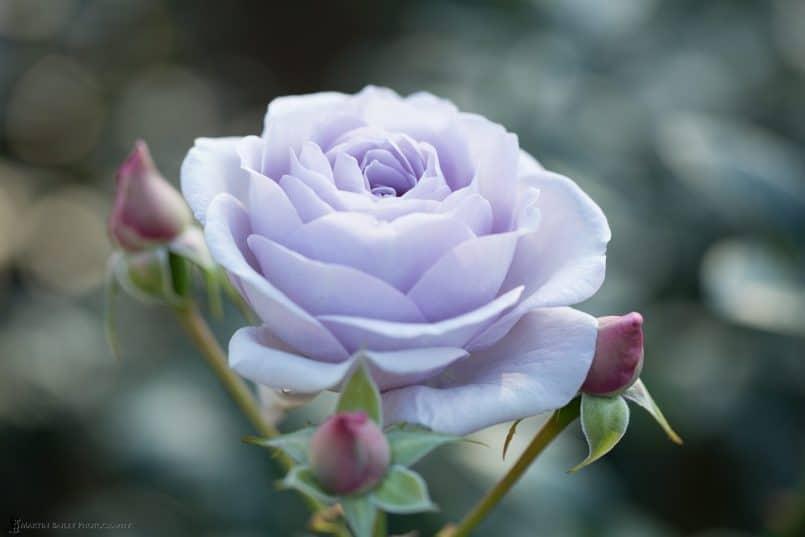 Violet Rose(original)