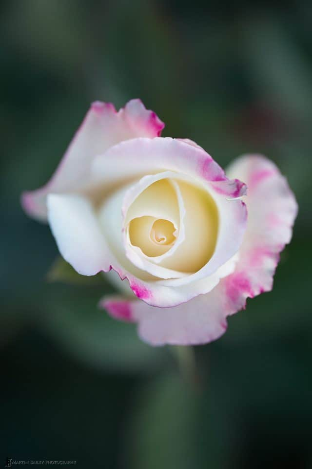 Pink and White Rose (original)