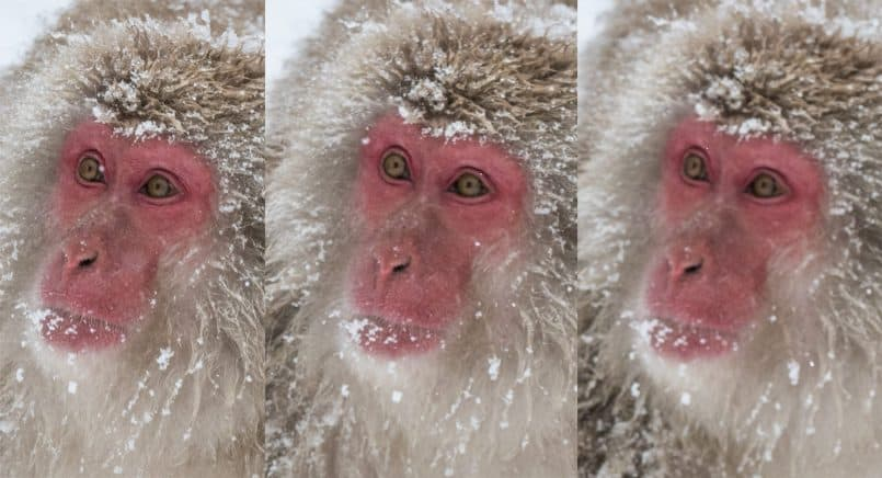 Snow Monkeys Out of Focus - 66% Crop