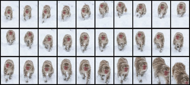 Snow Monkey Autofocus Test
